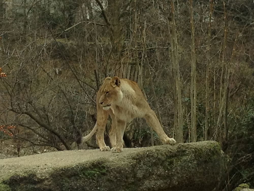 iPhoneography. Lioness. By Sascha-Irena Wilkesmann.
