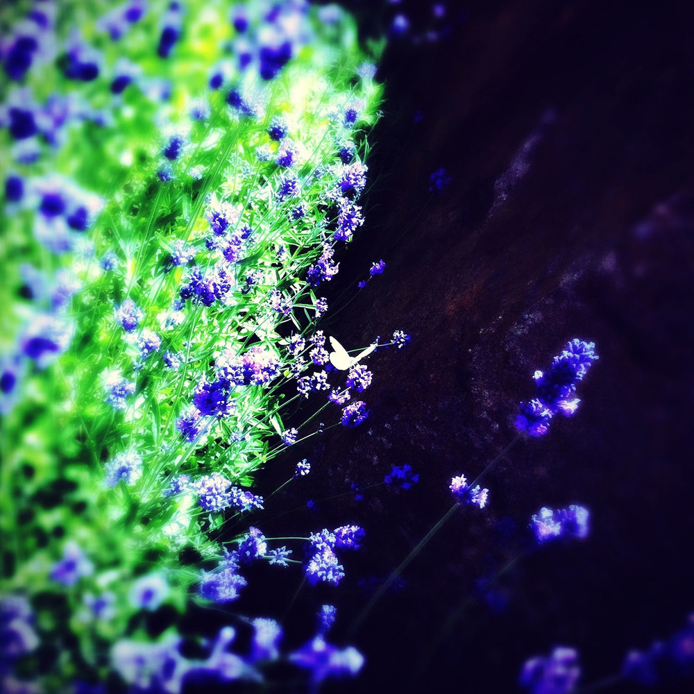 iPhone photo: lavender and butterfly
