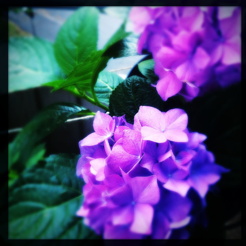 iPhone photo: Hydrangea