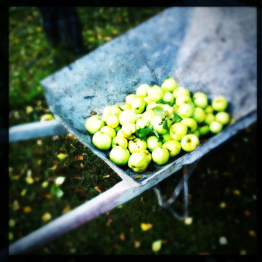 apple-harvest.JPG