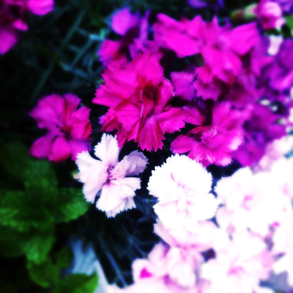 Wild Carnations. iPhone photo by Kate England