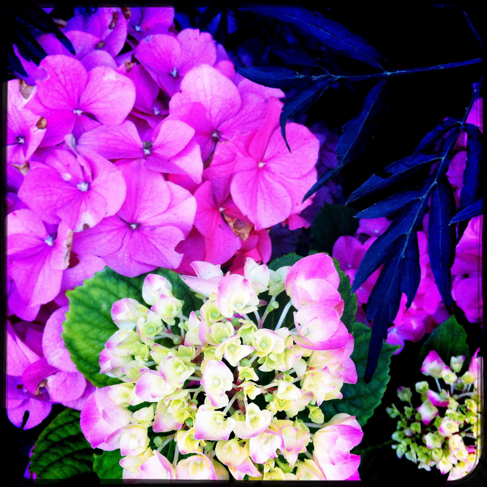 Pink Hydrangeas. iPhoneography by Kate England