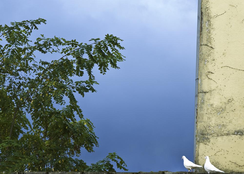 Bruges doves