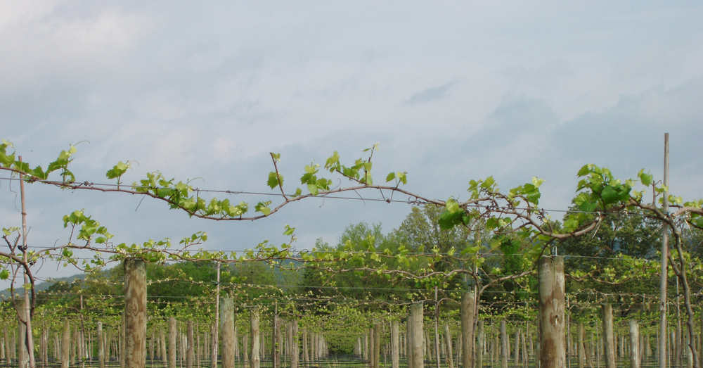 The vines look like an arbor.