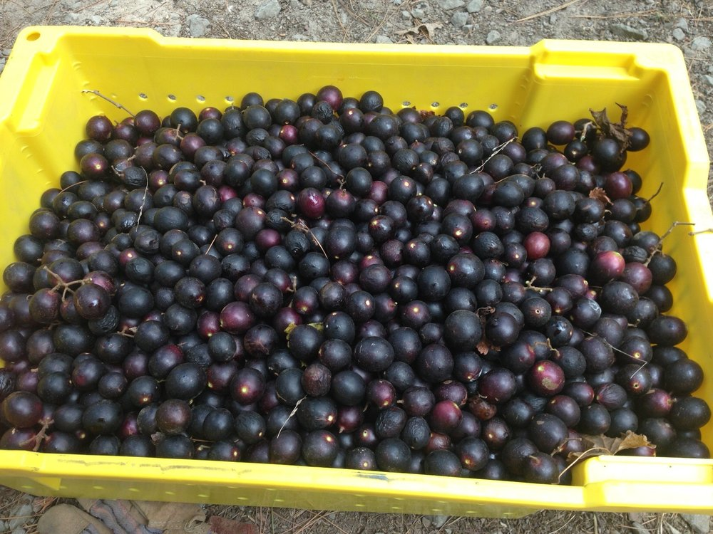 Sugargate Muscadines in Arkansas!