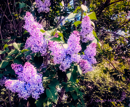 Loving the Lilacs by J. Gazo-McKim ©2013