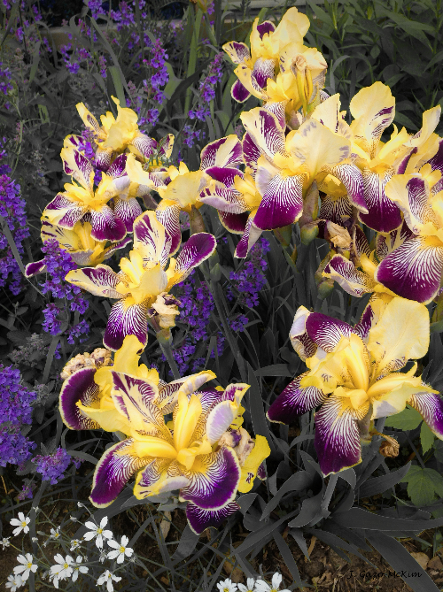 Lavender and Irises by J. Gazo-McKim ©2013