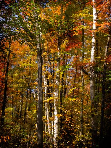 Birch Trail by J. Gazo-McKim ©2012
