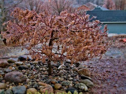 Frozen Japanese Maple by J. Gazo-McKim © 2012