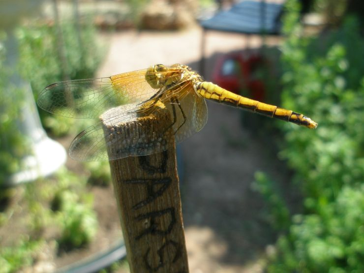 gold dragon1.jpg