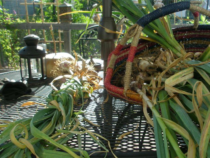 GarlicHarvest'12a.jpg