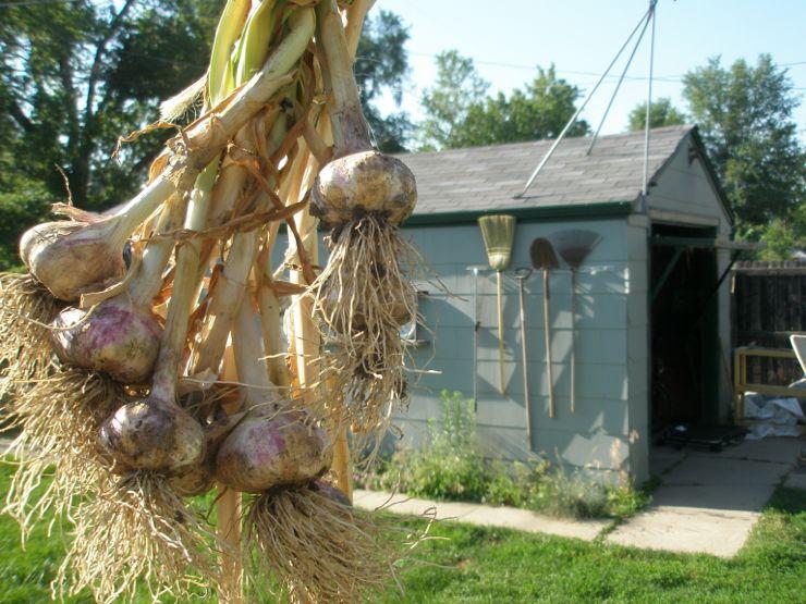 GarlicTree'12.jpg