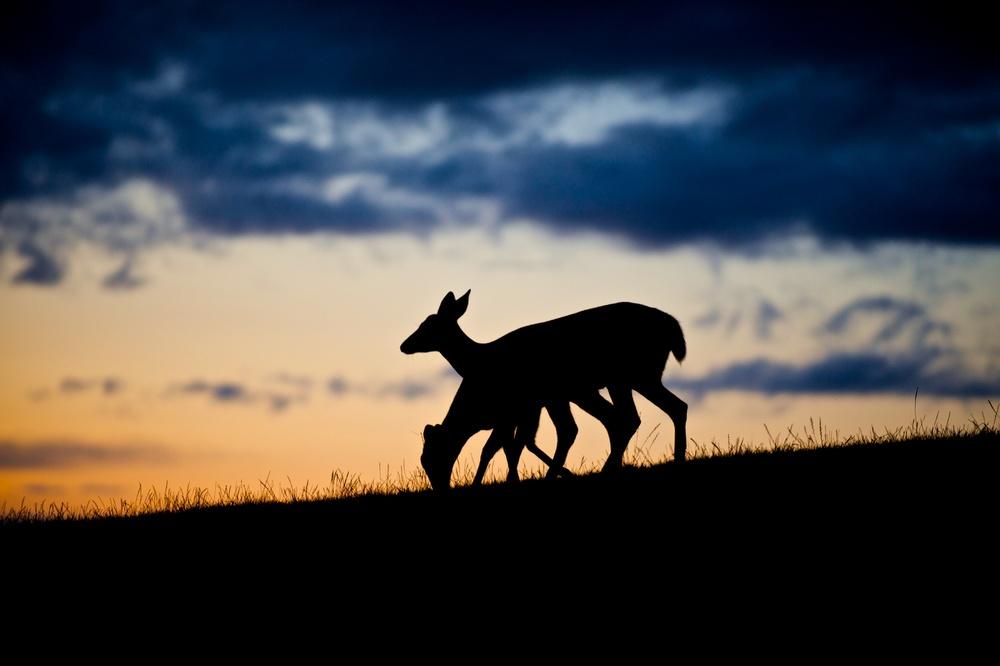 Silhouetted Deer