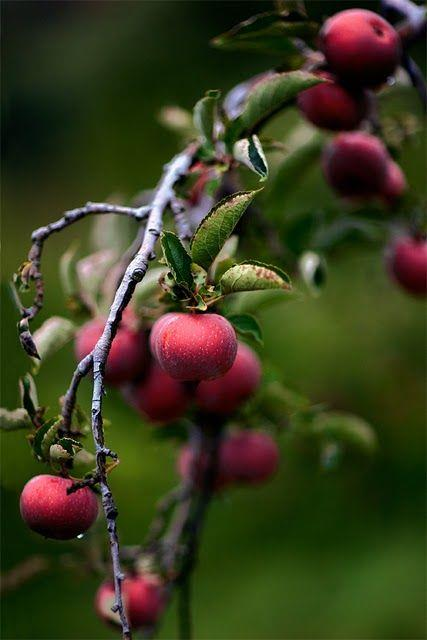 WildCrabApples.jpg