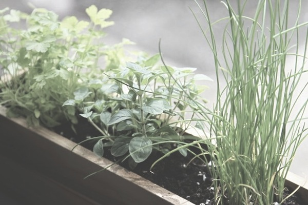 Shade Tolerant Small Space Herbs