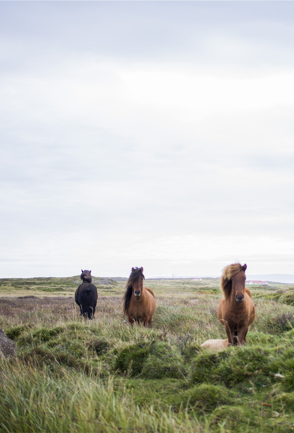 Promote, conserve and respect nature. | Wild horses of Iceland.