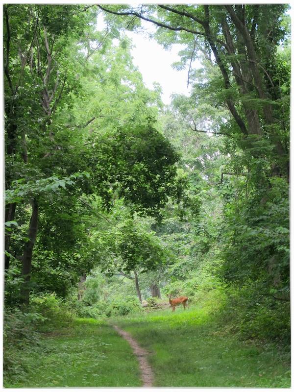 Deer on Aqueduct trail.jpg