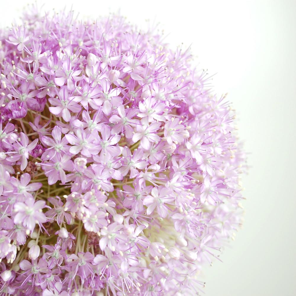 Allium  A spring bloom.