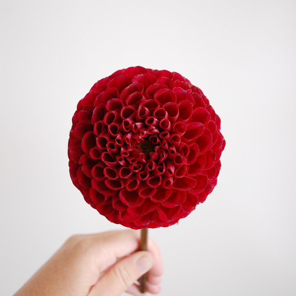 Inspir_Dahlia-Red-01.jpg