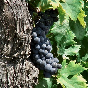 Etna grapes