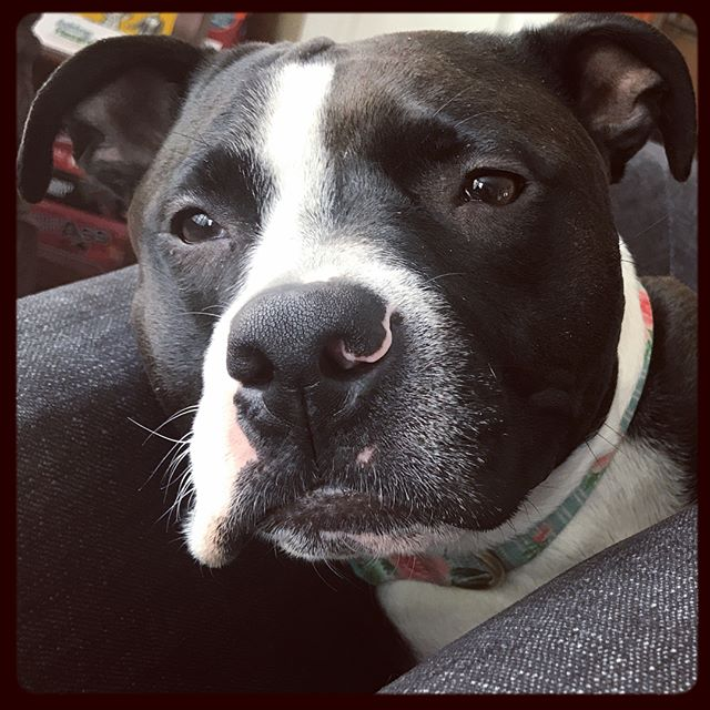 .current mood. #LolaBird + + #JenOsborn #mymessynest #rescuedog #adoptdontshop #dontbullymybreed #pibble❤️ #pitbullsofinstagram #rescuedogsofinstagram #itsfreezinghere