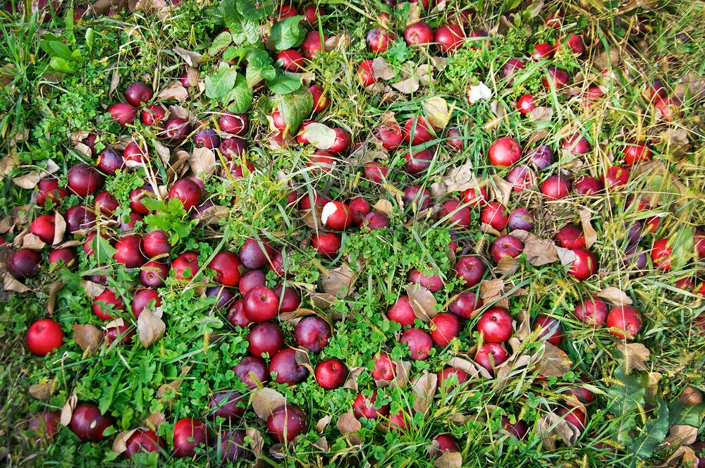 Fallen fruit. Breeze Hill Farms, Peconic, NY