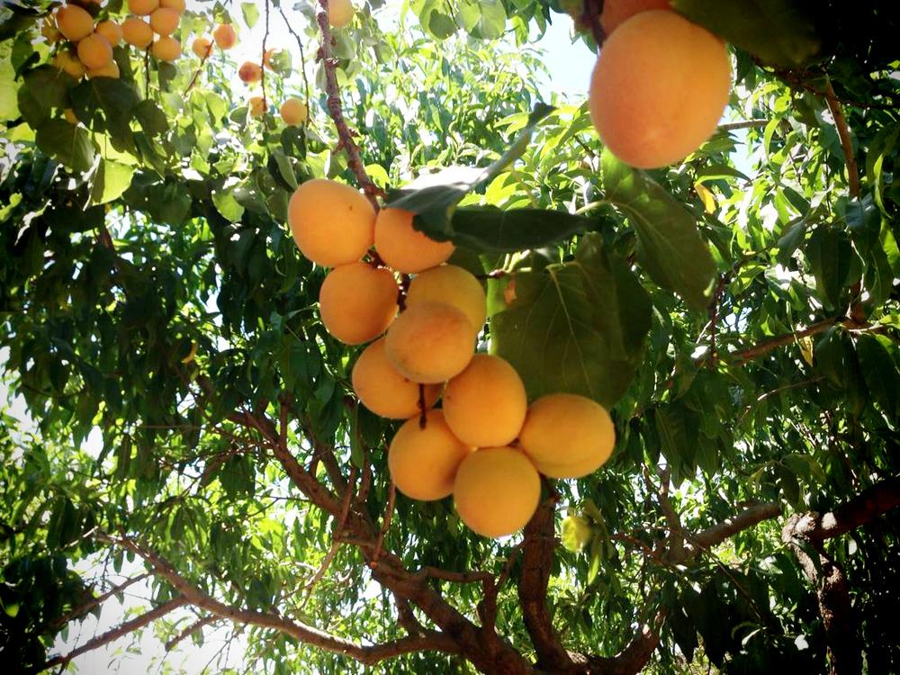 apricot on tree.jpg