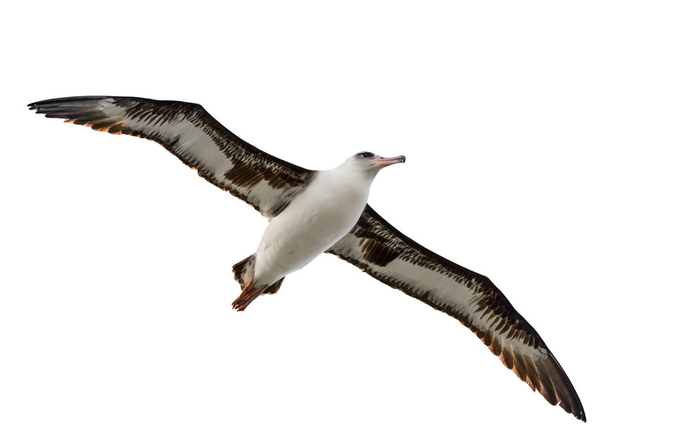 albatross-isolated-on-white-539041989_7740x5024.jpeg
