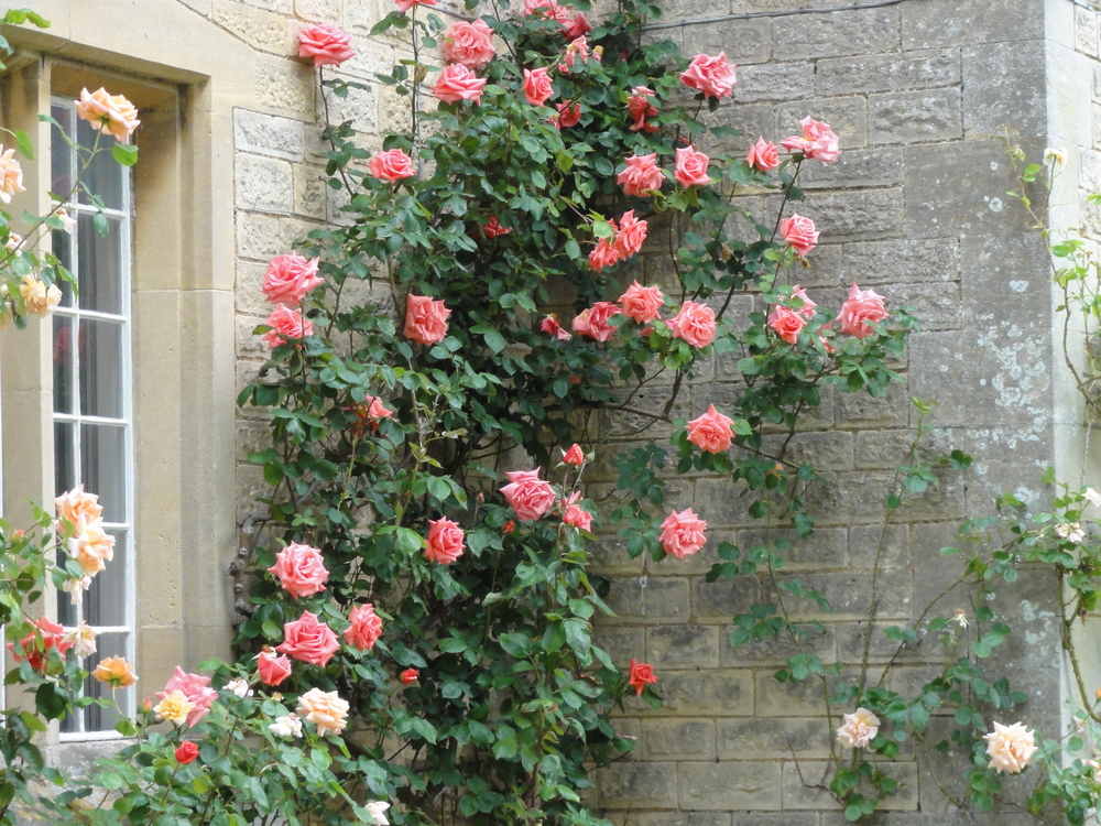 Roses outside The Moretons Farmhouse