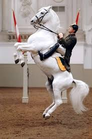 "Lippizaner Stallion from Spanish Riding School demonstrating High School Movement ""Courbette"""