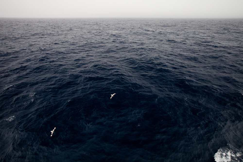 Cape petrels on the Drake Passage.