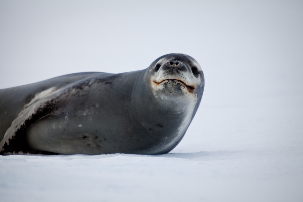 Leopard Seal. Yankee Harbour, South Shetland Islands.