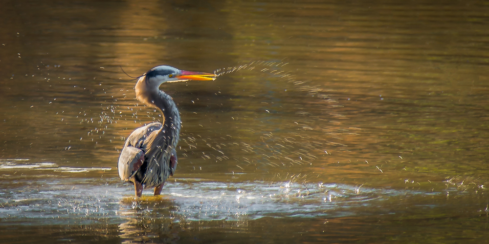 heron takes a bath
