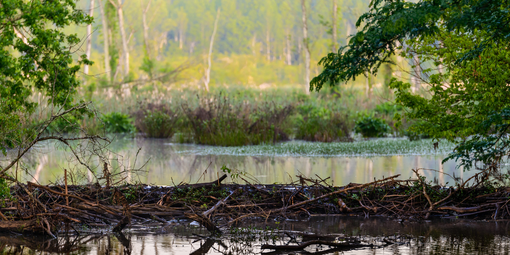 new beaver dam