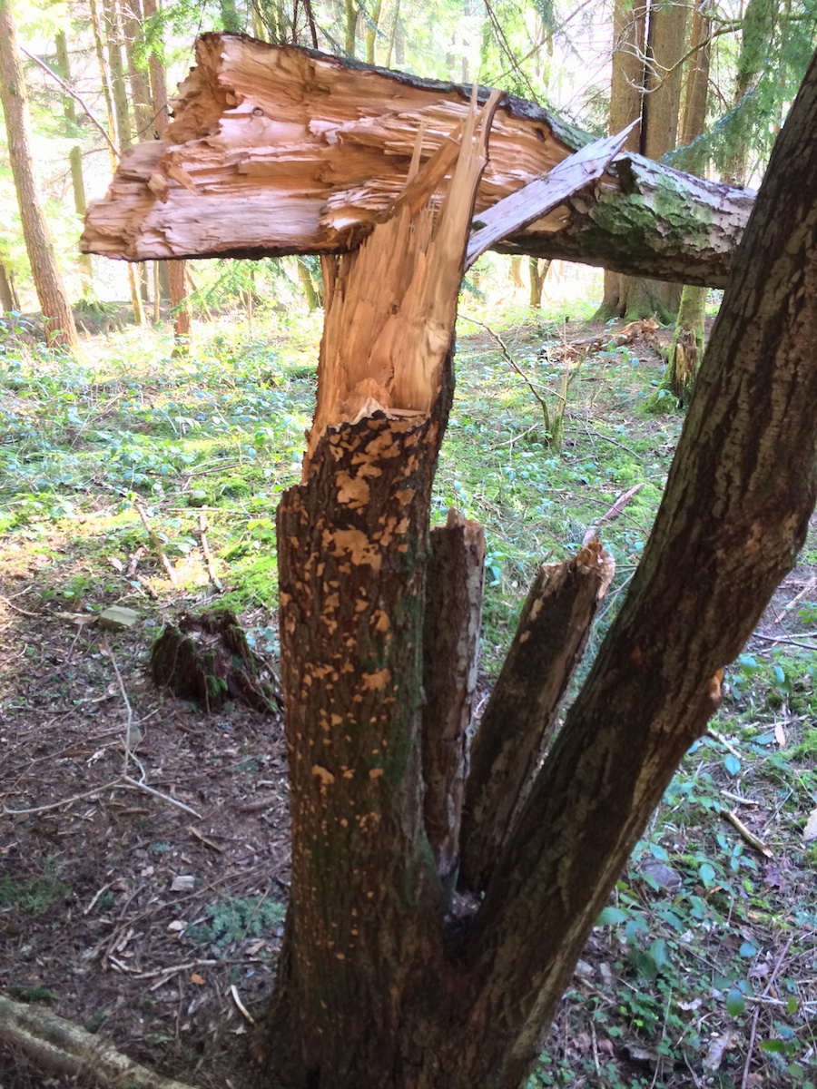 a tree damaged in the wind and fungal growth