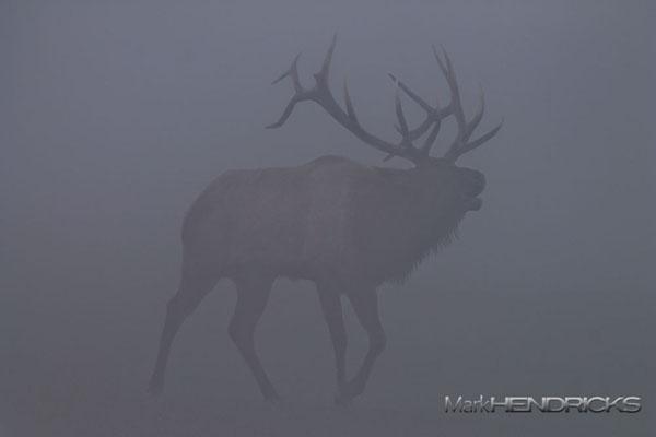 Bull Elk in Fog. Benezette, PA