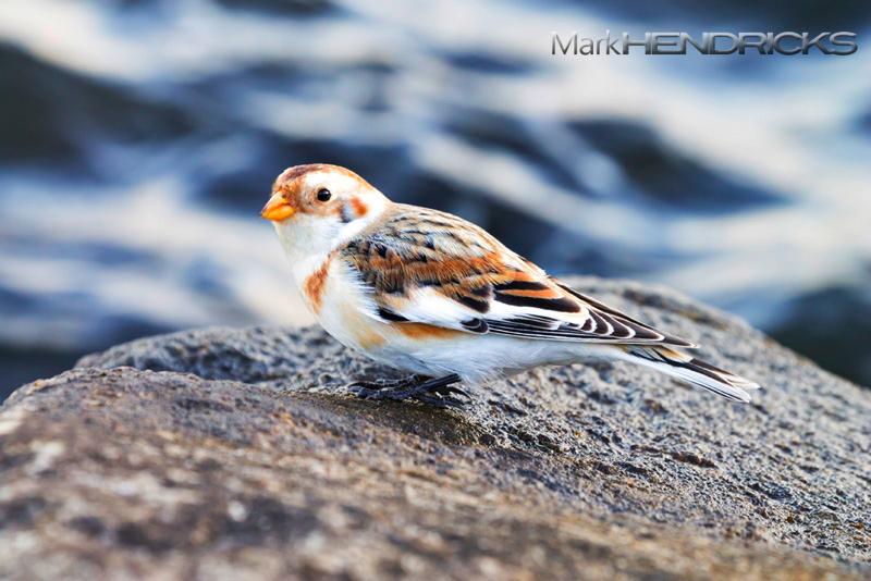 Snow Bunting in winter plumage. A wonderful bird!