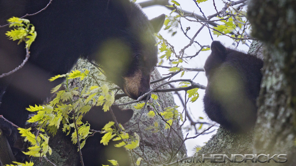 Mother Black Bear and cubs.  Happy Mother's Day!