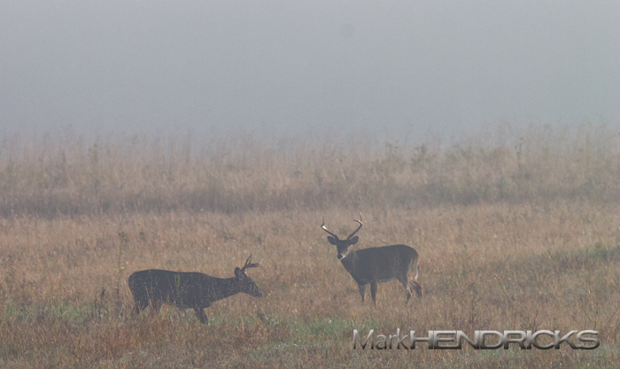 Whitetail Bucks eying each other during the rut
