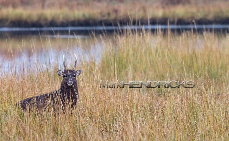 Sika Deer on Maryland's Eastern Shore