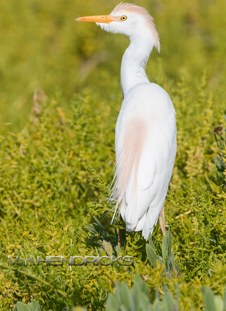 A Cattle Egret in the Everglades