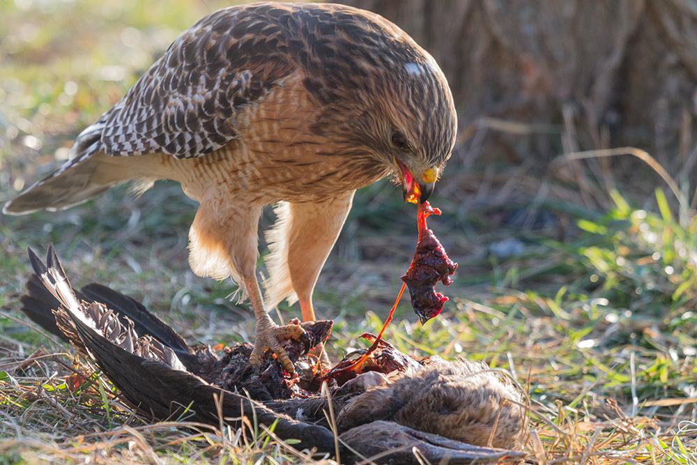 hawkcormorant.jpg
