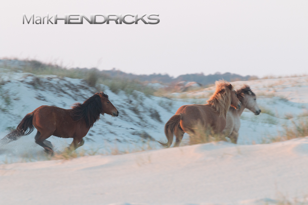 A Wild Horse herd galloping along the sand dunes of Assateague Island.