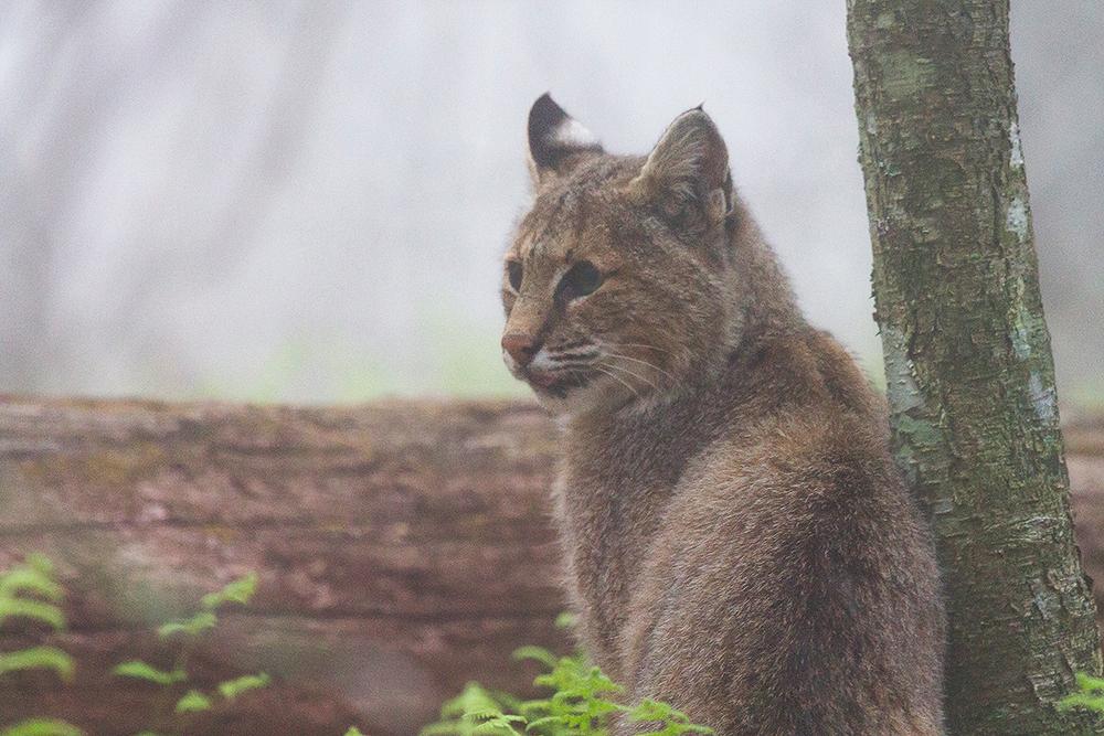Hendricks_Bobcat.jpg