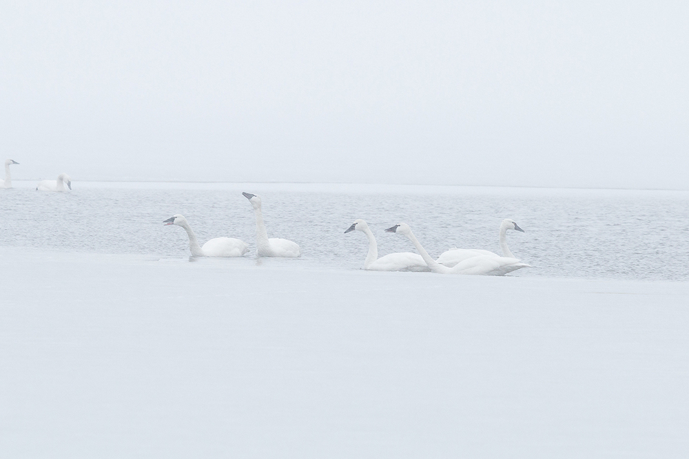 TundraSwans.jpg