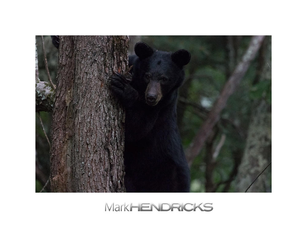 Black Bear in the Appalachian Mountains at dusk