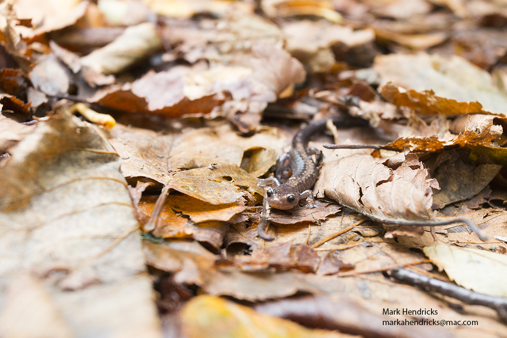 An endangered Shenandoah Salamander in autumn leaf clutter in Shenandoah National Park in Virginia.
