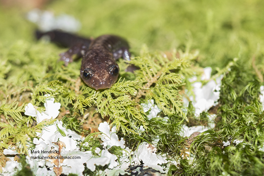 A portrait of an endangered Shenandoah Salamander