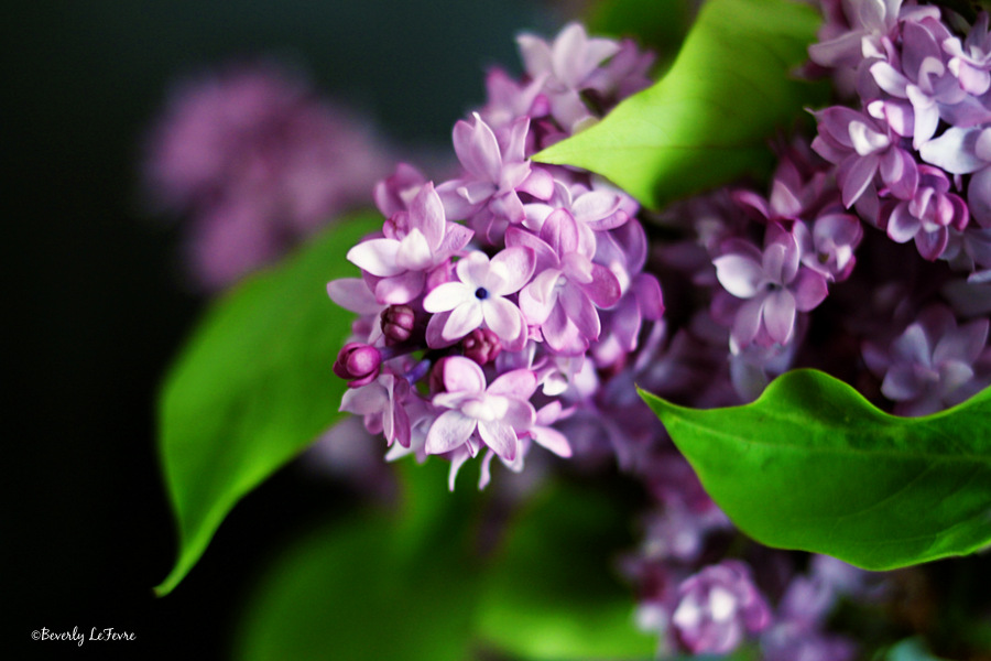 lilacs coming soon to the shops