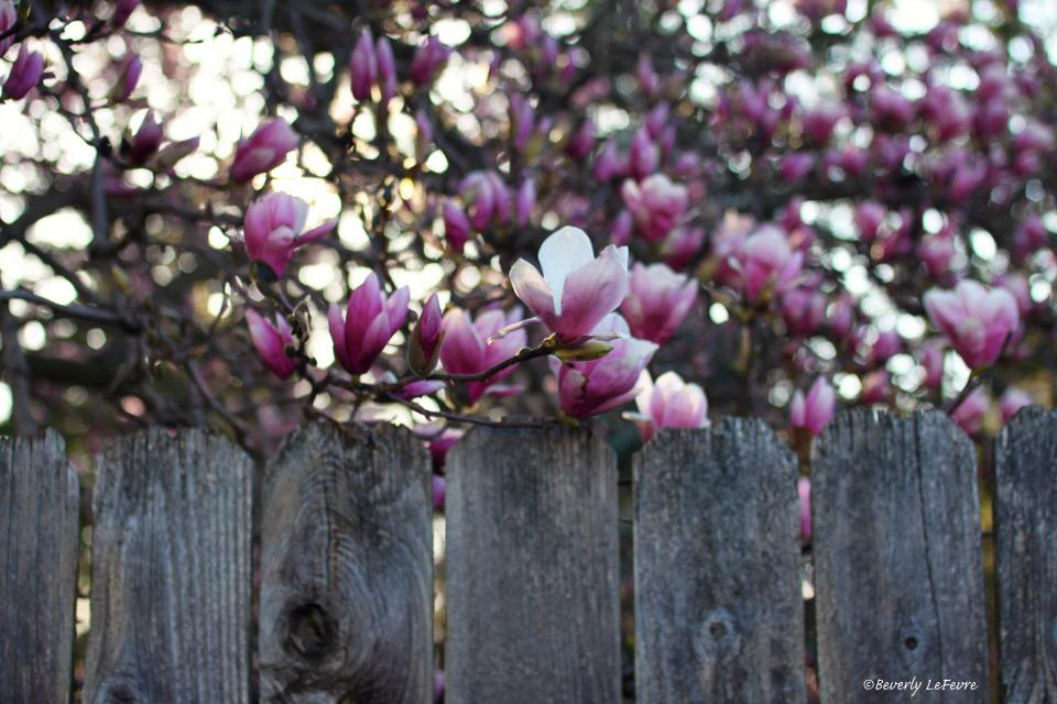 magnolia fence